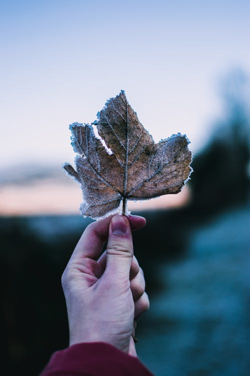 Crop anonymous person demonstrating dry leaf of maple in frosty evening in nature