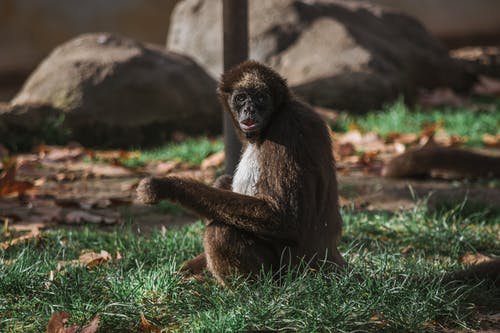 Hairy monkey sitting on grass with fallen leaves
