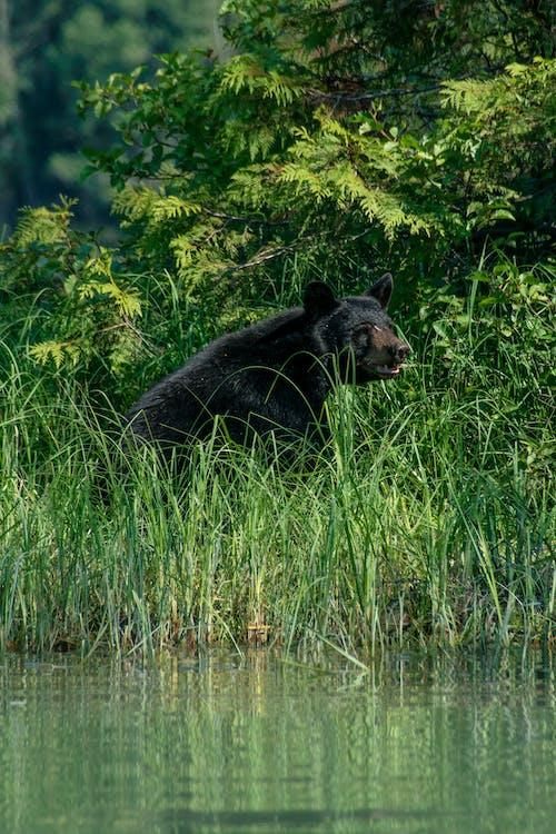 Black bear sitting on grassy lakeside in wild nature