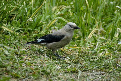 Full length cute gray Canada jay bird standing on lush grassy meadow on clear summer day