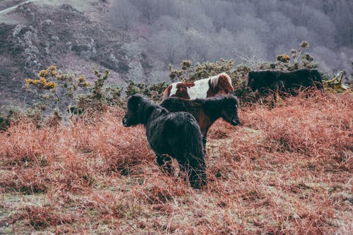Purebred ponies with fluffy manes pasturing on grassy meadow in fall mountainous area