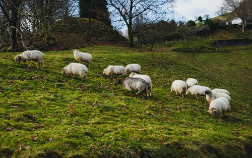 Herd of wild sheep pasturing on grassy meadow with trees under clear sky