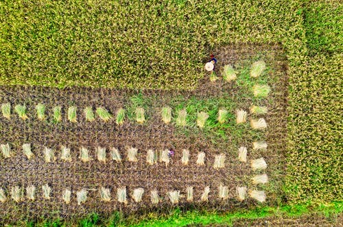 Top view of greenery rice plantation with rows of abundance of plants growing in agricultural area in rural terrain on farm