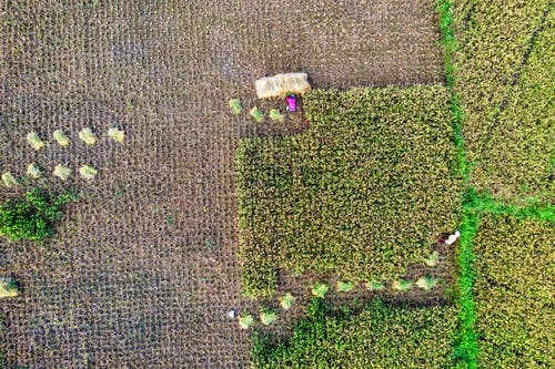 Top view of green rice plantation growing in agricultural terrain with collected plants during harvesting season in suburb area on farm