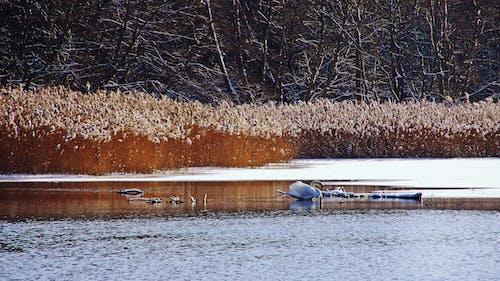 Δωρεάν στοκ φωτογραφιών με κύκνος, νερό, πάγος, φύση