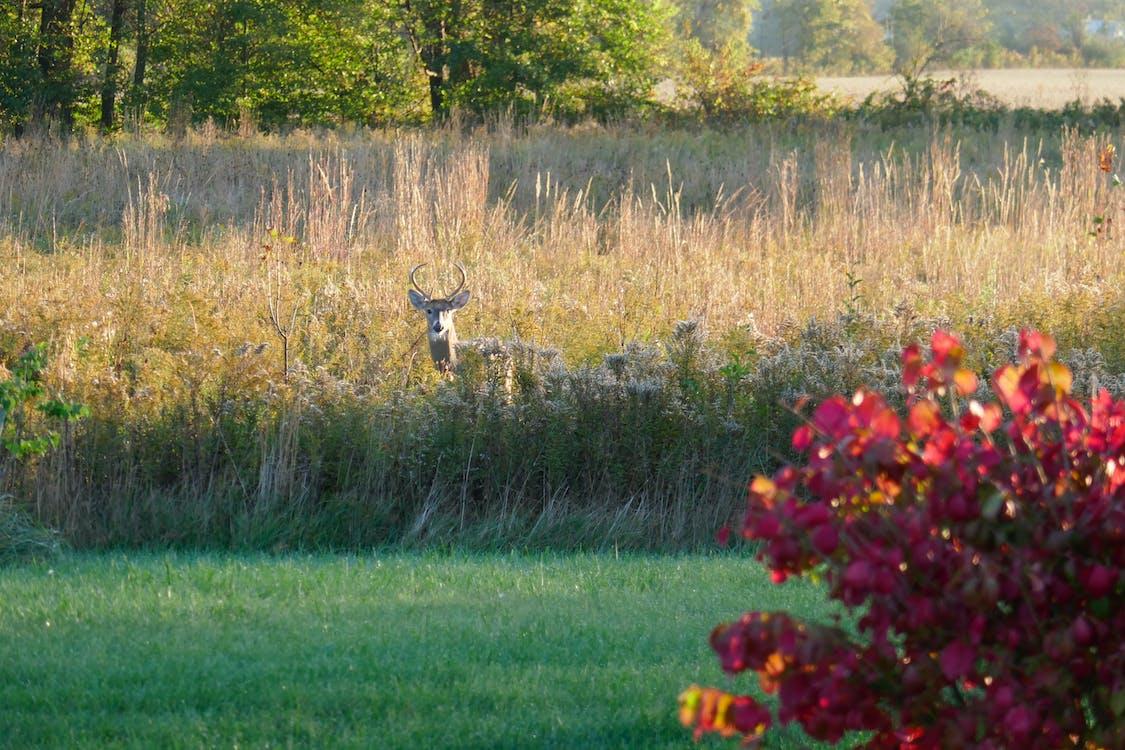 Free stock photo of buck, burning bush, deer