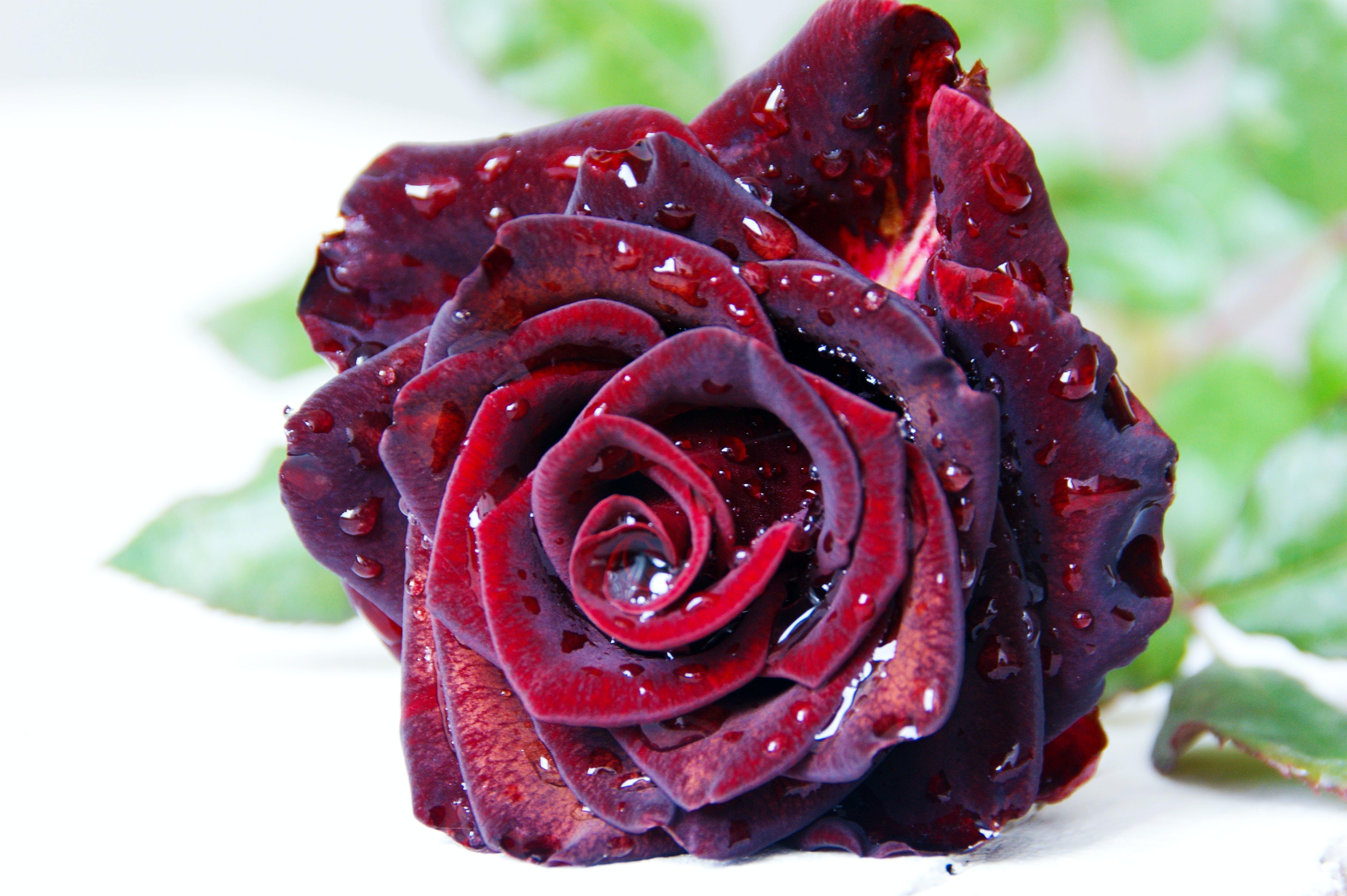 Základová fotografie zdarma na téma kapka rosy, krásná květina, krásný, květ růže