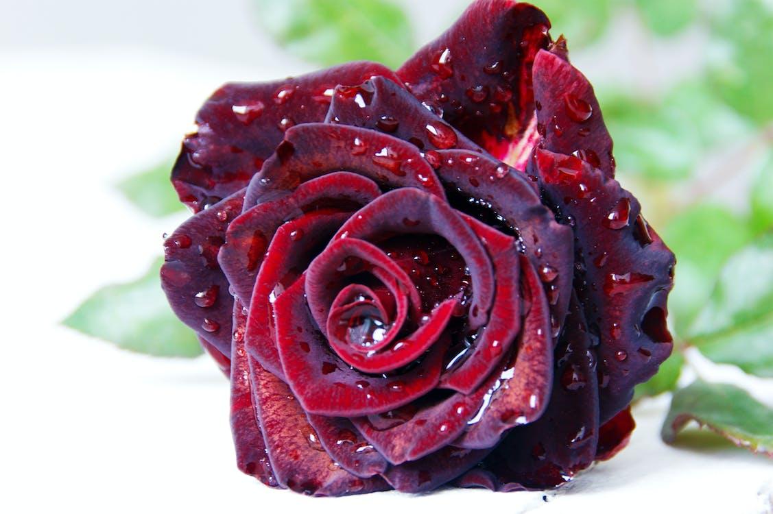 ดอกกุหลาบ, ดอกกุหลาบบาน, ดอกไม้