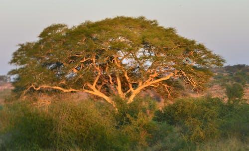 Gratis lagerfoto af eftermiddagssol, feber træ