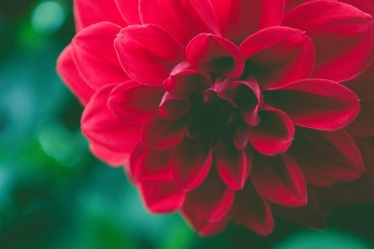 Free stock photo of red, petals, plant, blur