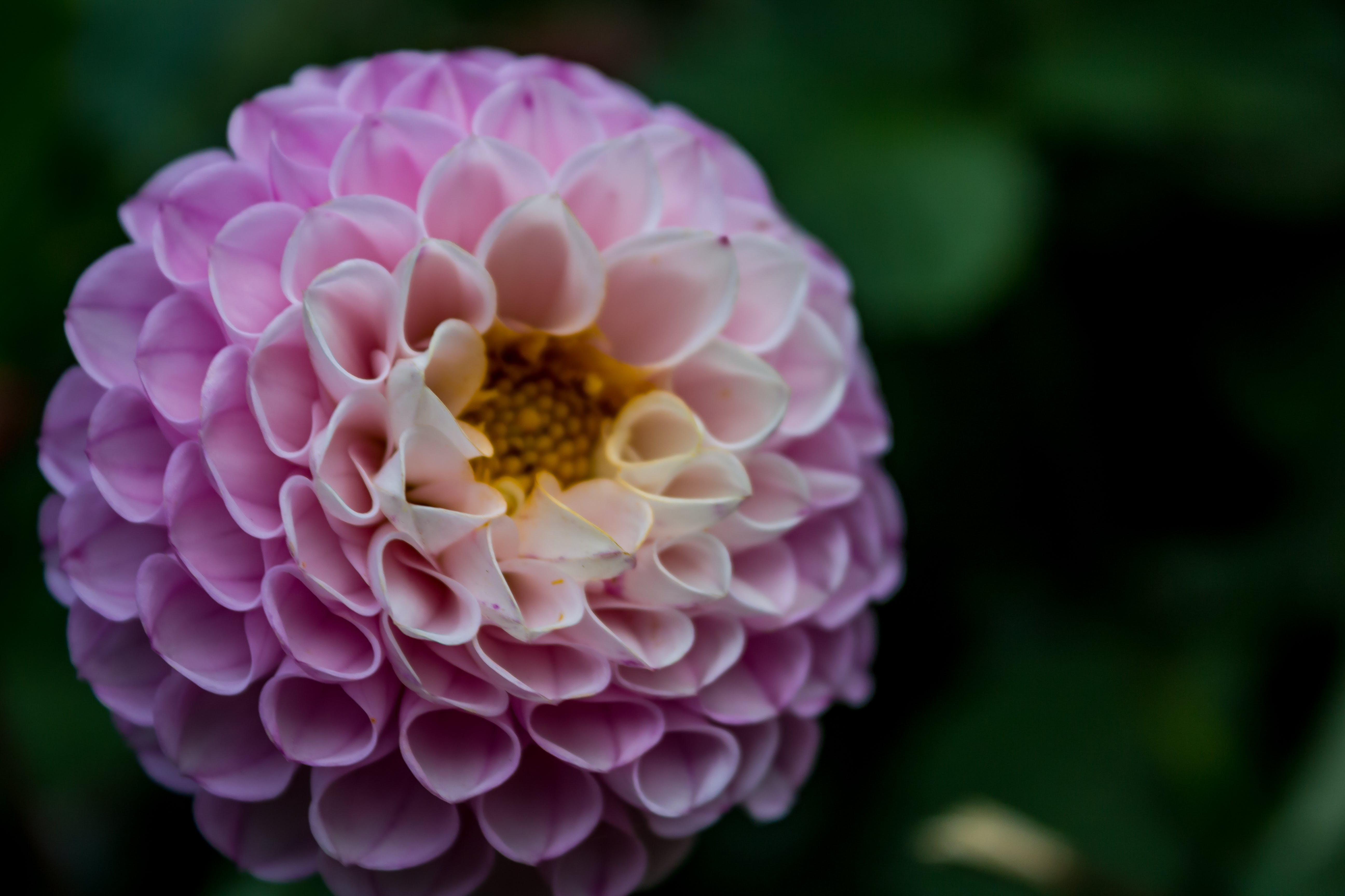 Close-up Photo of Pink Flower