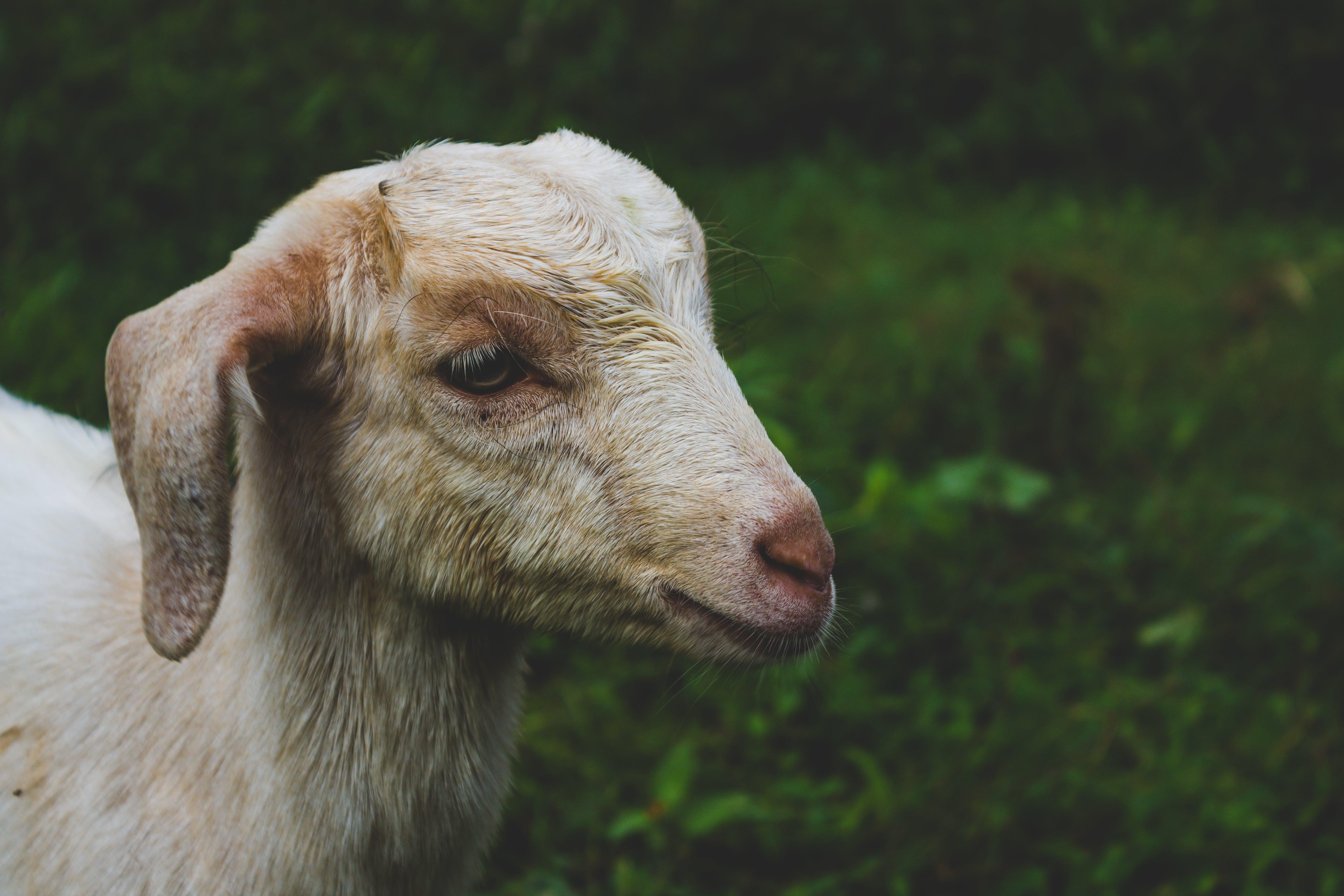White Goat in Shallow-focus Shot