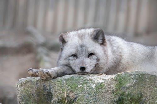 White Fox Lying on Brown Rock