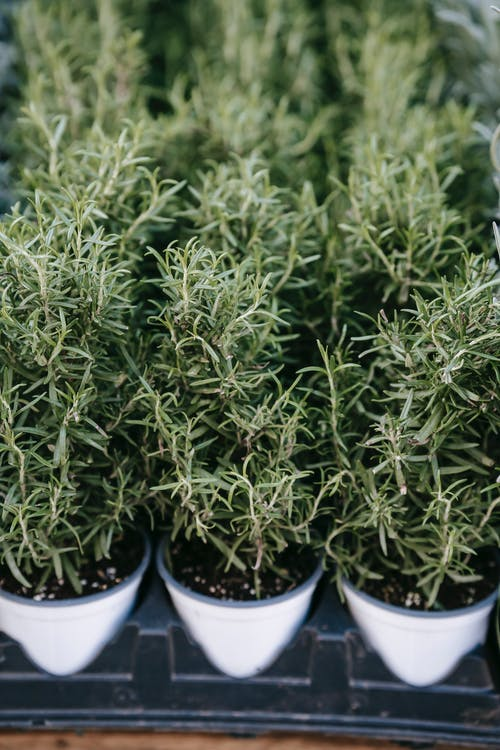 Verdant fragrant rosemary herb cultivated in small pots and placed on stall in local street market