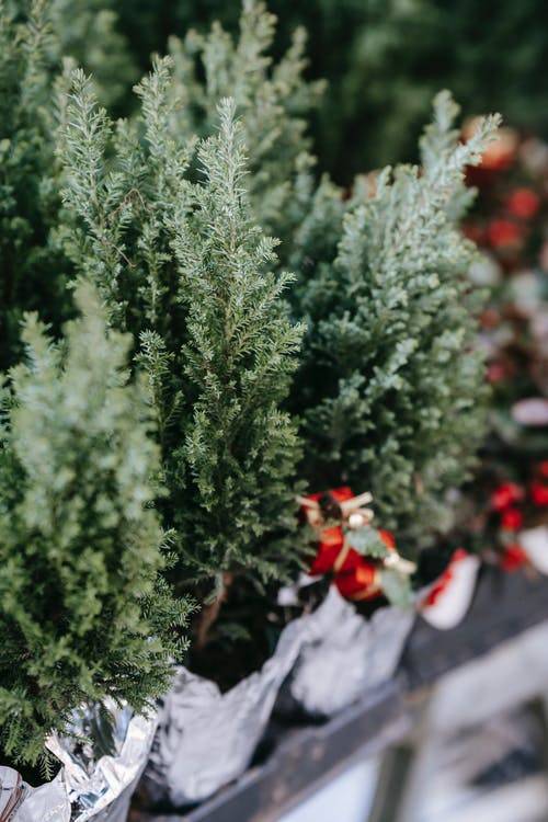 Potted juniper plants placed on stall