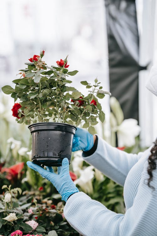 Crop anonymous female in gloves demonstrating potted fragrant red flower and standing near stall in floral market