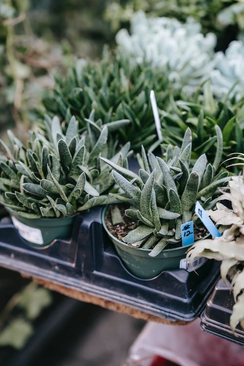 High angle lush potted haworthia succulents placed on stall in local street market