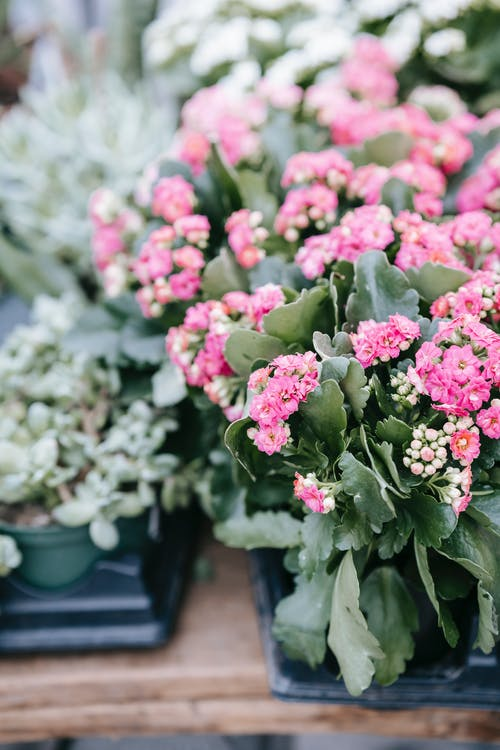 Tender pink kalanchoe flowers and succulents in pots placed on stall in floral market
