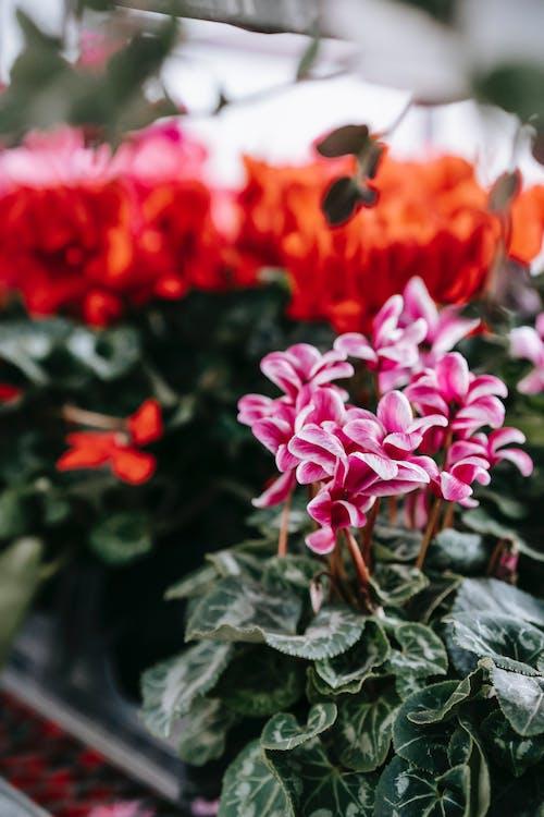 Pink cyclamen flower in floral shop