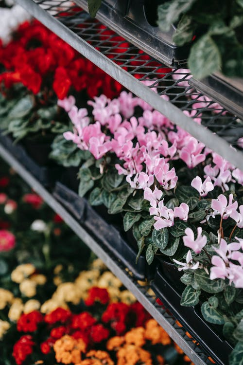Colorful blooming flowers in pots placed in rows on counter of floristry store in daytime