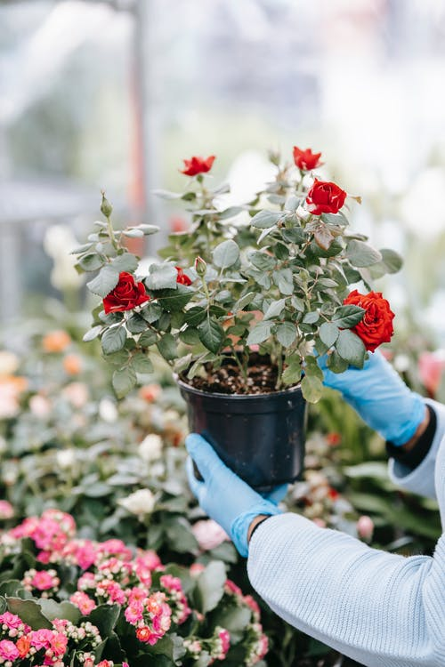 Unrecognizable person with gloves standing with blooming potted plant in hands while standing in floral shop with abundance of flowers on blurred background