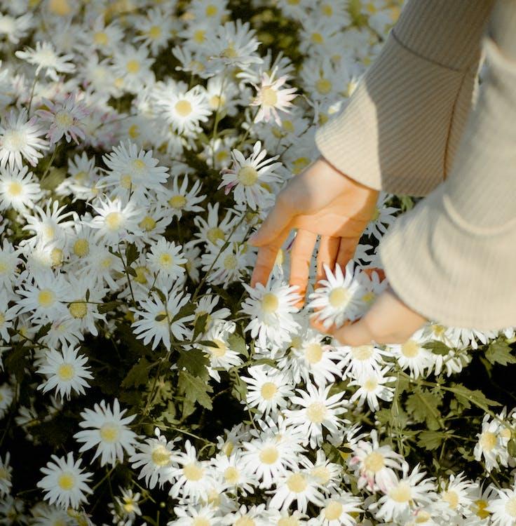 Faceless woman picking Bellis perennis flowers on meadow