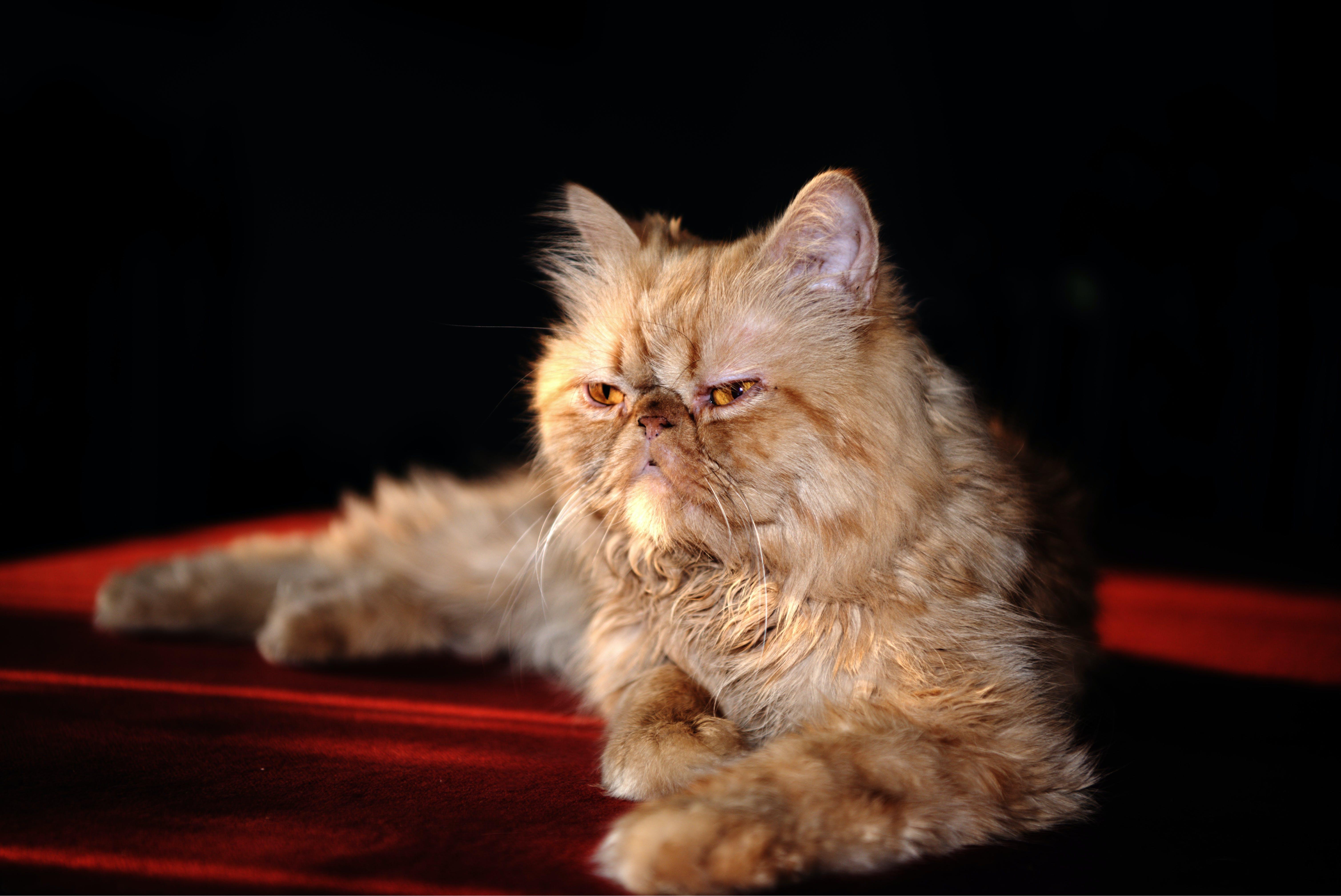 Free stock photo of Persian cat