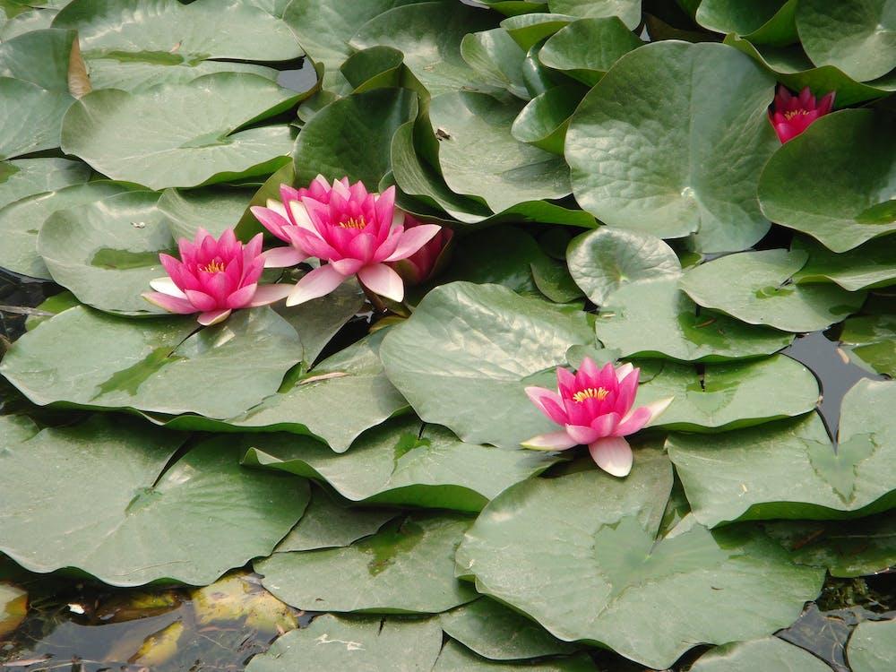 Free stock photo of lotus flowers