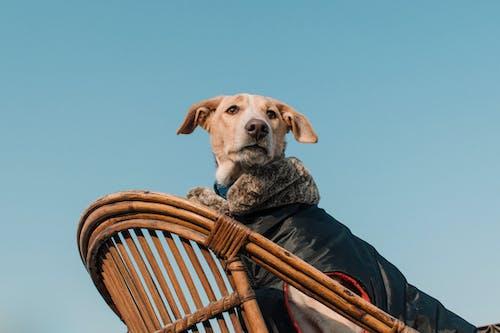 Yellow Labrador Retriever Sitting on Brown Wooden Chair