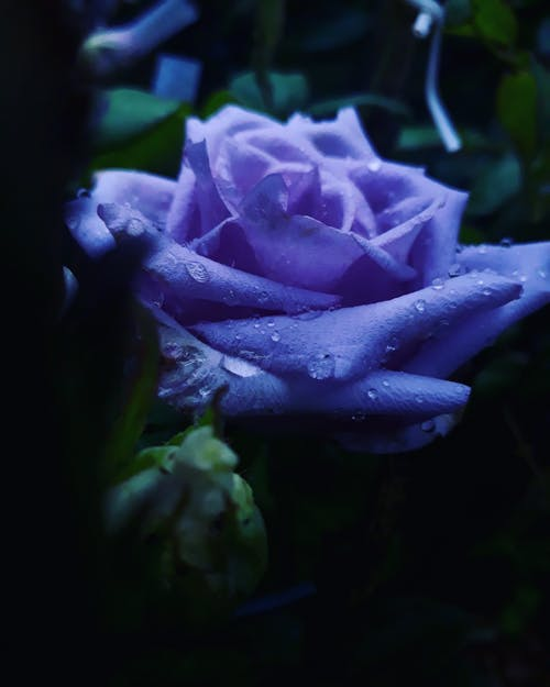 Macro Photography of a Blooming Purple Rose