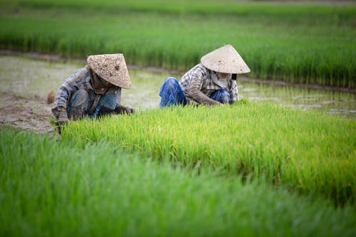 Two Farmers Planting Rice in Paddy Field