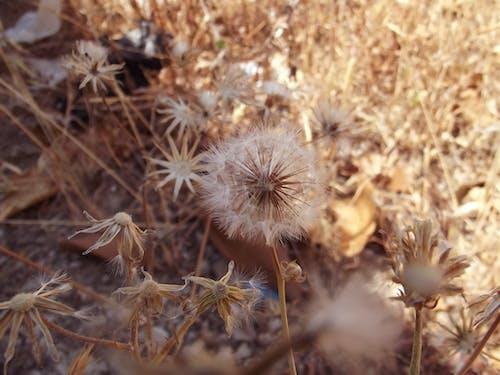 Free stock photo of dandelion, dandelions, nature