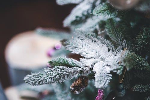 Snow On A Pine Tree Branch