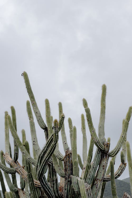 From below of tall green exotic cactuses with prickly thorns growing against overcast sky in nature in countryside during summer time