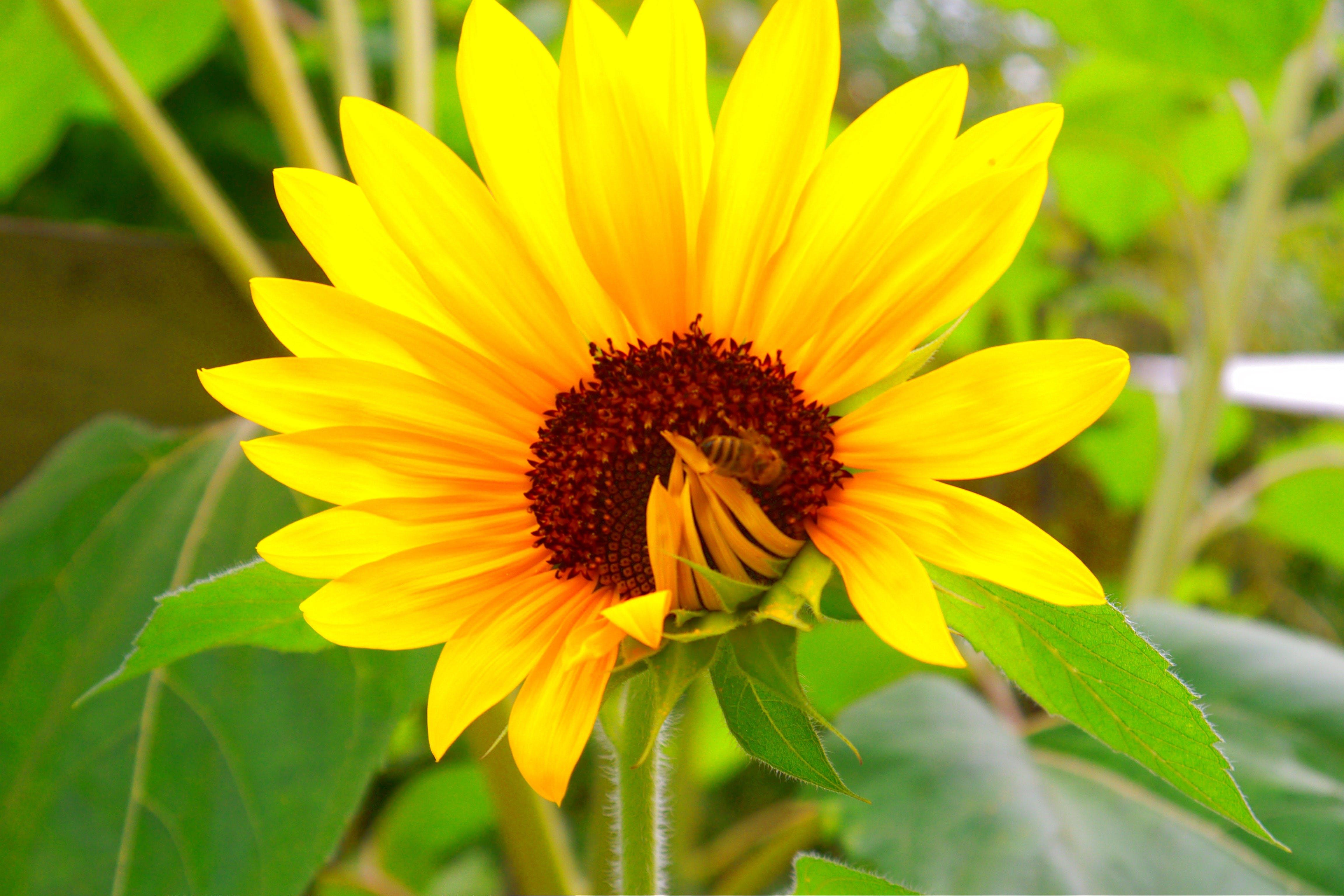 Free stock photo of bee, sunflower