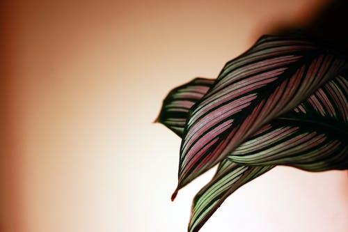 Kostenloses Stock Foto zu calathea, natürliche schönheit, pfirsich, pflanzenfotografie