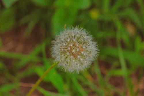 Fluffy dandelion growing among green grass