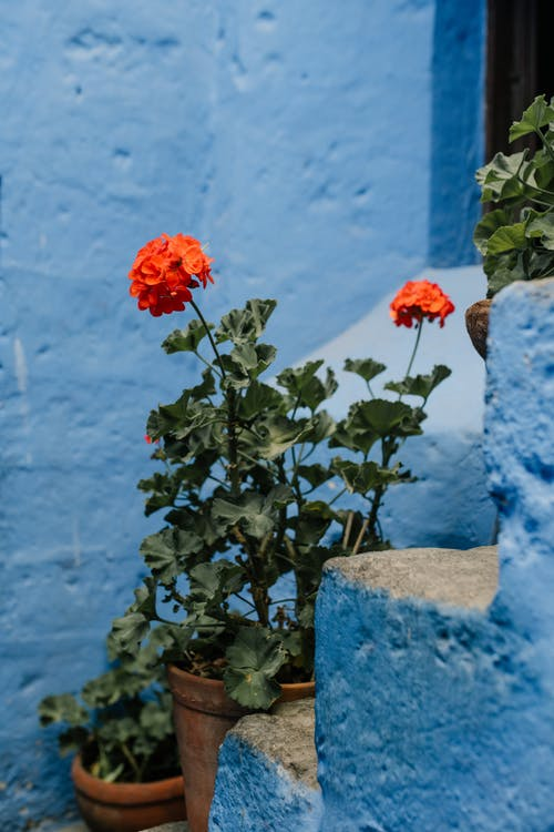Blooming flowers in pot on blue stairs