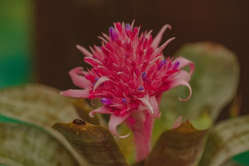Bright blossoming inflorescence with colorful pink bud of tropical flowering plant Aechmea with foliage