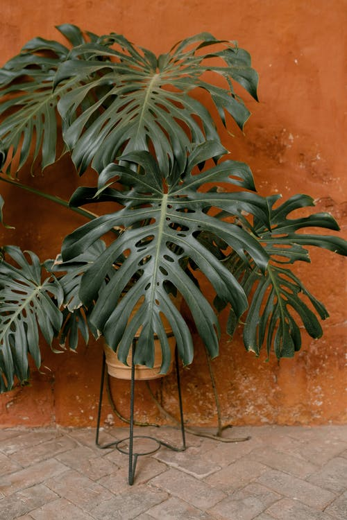 Green tropical potted plant monstera with long leaves placed near shabby stone wall in daylight