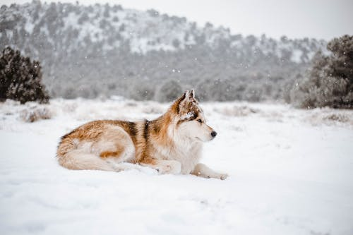 Full body young Siberian Husky with fluffy fur lying on snowy terrain and looking away in hilly forested nature