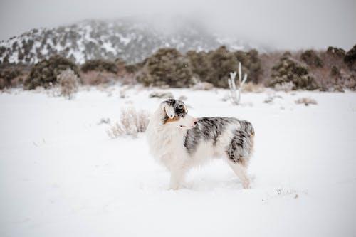 Cute Australian Shepherd standing on snowy hilly terrain