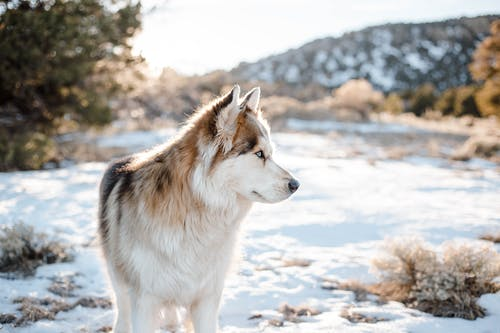 Loyal fluffy Siberian Husky standing on vast hilly terrain covered with snow and looking away attentively
