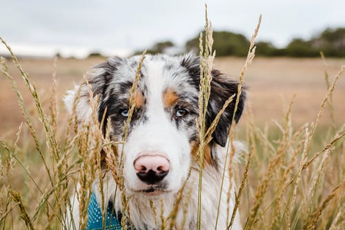Cute fluffy Australian Shepherd dog standing amidst tall grass on valley in peaceful nature and looking at camera attentively