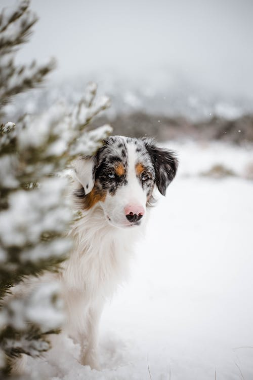 Cute purebred Australian Shepherd dog standing behind snowy fir growing on vast hilly terrain and looking at camera