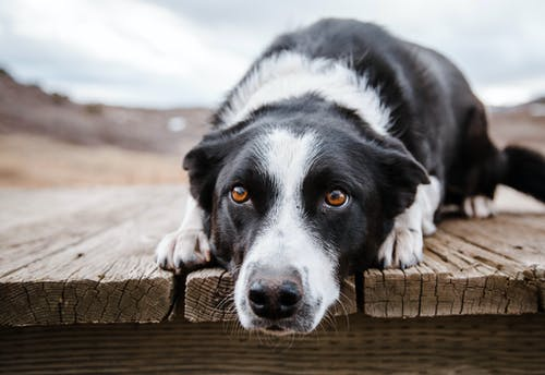Adorable obedient Border Collie dog with black and white fur lying on wooden footpath and looking away with curiosity in tranquil nature