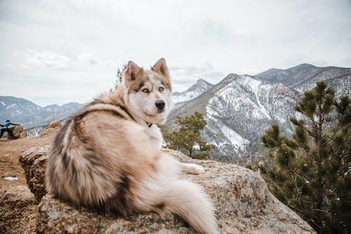 Purebred Husky lying on rock in snowy mountainous terrain