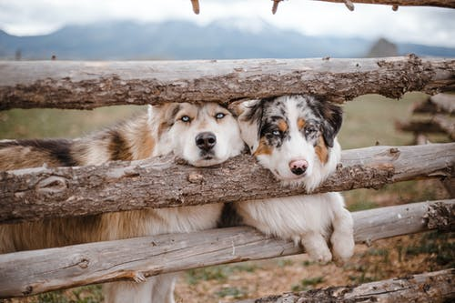 Cute purebred Husky and Australian Shepherd dogs standing together near wooden fence of enclosure and looking at camera in mountainous farmland