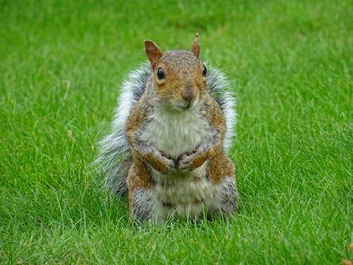 Brown Squirrel on Green Grass