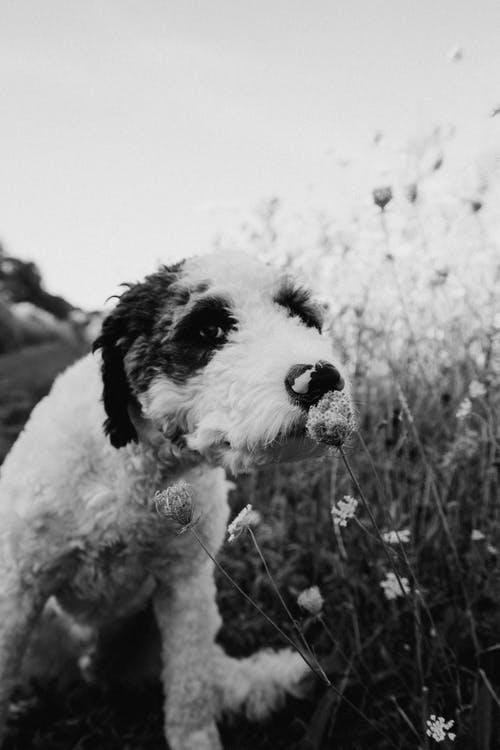 Black and white fluffy friendly Fox Terrier dog smelling fragrant white wild flower while sitting on lush grassy meadow